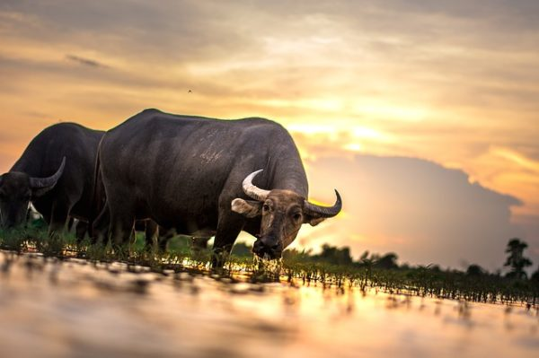 buffalo at the rice field