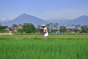 a farmer plowing his rice field