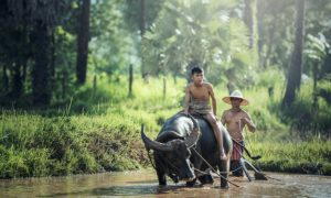 boy riding a buffalo in the ricefield