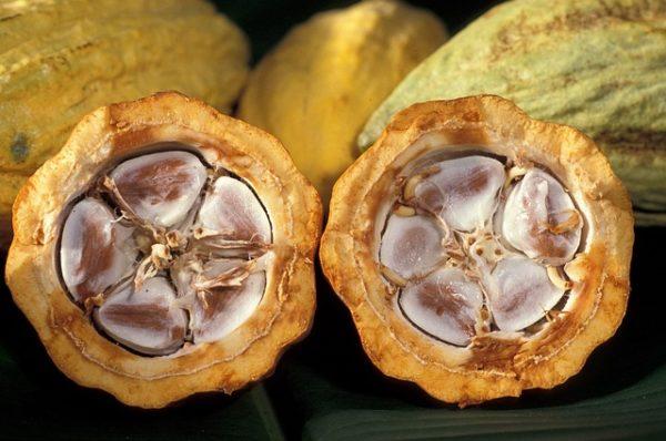 philippine cacao